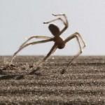 Különleges cigánykerekező pók a Szahara sivatagban