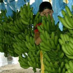 A banán betakarításának folyamata a Karib térségben