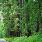 A világ leghosszabb fákkal szegélyezett útja Japánban