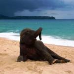 Strandoló kiselefánt