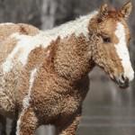 A göndör szőrű lovak