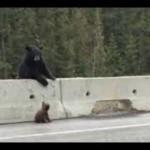 Így mentette ki az autópályára tévedt bocsát a medvemama