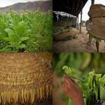 Dohány termesztése és betakarítása Kazahsztánban