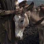 A pakisztáni szénbányák igavonó szamarai