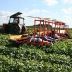 Egy különös uborkaszedő gép – a munkaerő gazdálkodás újabb szintje