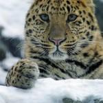 Az amuri leopárd – egy súlyosan veszélyeztetett faj