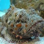 A kőhal –  az egyik legerősebb mérgű hal a világon