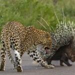 Megfutamodott a leopárd a tarajos sültől