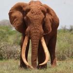 Megölték a világ egyik legnagyobb elefántját