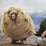 Új-Zéland világhírű báránya, akit 6 évig nem nyírtak meg