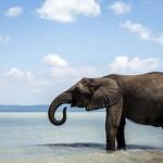 Elefántok fürödtek a Balatonban