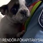 40 fajtatiszta kiskutyát mentettek meg a rendőrök Csepelen