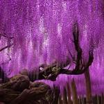 Az Ashikaga virágpark 144 éves lilaakáca