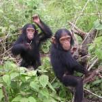 Az emberszabású majmok életterét és életét veszélyeztetik az új olajpálma-ültetvények Afrikában