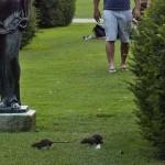 Óriási patkányok lepték el a Tuileriák kertjét Párizsban