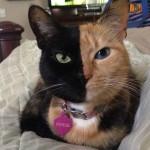 Venus, a különleges felemás arcú macska