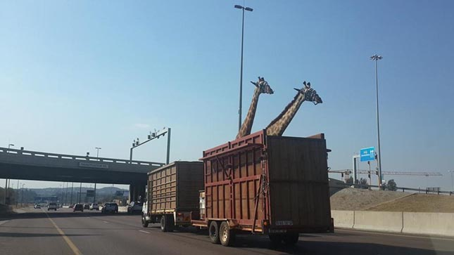 Giraffe-Bridge