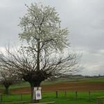 Bialbero de Casorzo – az eperfán növő cseresznyefa