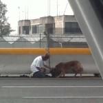 Autópályáról mentett ki egy elütött kutyát egy mexikó nő