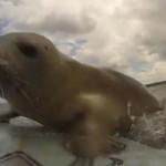 Mindenáron szörfözni akart a kisfóka – videó