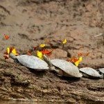 Teknőskönnyet isznak az Amazonas folyó mentén élő pillangók