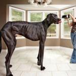 Photo: Elpusztult a világ legmagasabb kutyája, Zeusz