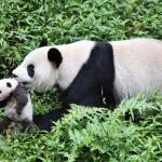A kínai pandaközpont imádnivaló újszülött pandái