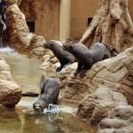 Bemutatták a Fővárosi Állatkertbe érkezett három óriásvidrát