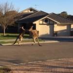 Két kenguru verekedett össze egy ausztrál városban
