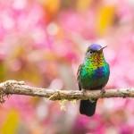 Kolibrik – aprócska repülő ékszerek