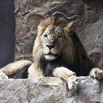 Látogatók előtt ölte meg társát egy oroszlán [Videó]