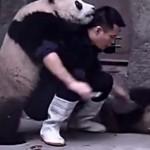 Gondozójuk gyógyszert szeretne beadni a pandáknak, de nekik más terveik vannak