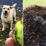 Egy labdaőrült labrador, aki imád az avarba ugrálni [Videó]