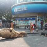 Kínai koldusok a több pénz reményében levágták egy teve lábait