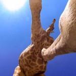 Ilyen amikor egy zsiráf elsétál felettünk [Videó]