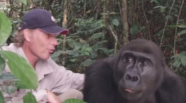 gorillak