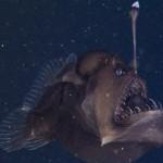 Ritka felvételek az egyik legfurcsább kinézetű mélytengeri élőlényről
