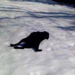 Rafi, a fekete labrador, aki imád a havon csúszkálni