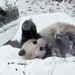 Így örül a torontói állatkert pandája a hóesésnek