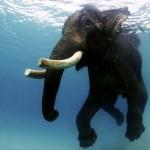 Rajan, az Andamán-szigetek úszó elefántja