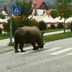 Városnézésre indult egy cirkuszi orrszarvú