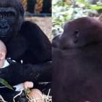 12 év elteltével is felismerték a lányt a gorillák – megható találkozás
