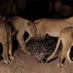 17 oroszlánt futamított meg a tarajos sül