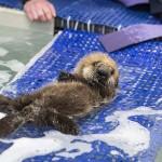 Így tanul úszni az árva vidrakölyök