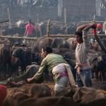 Több százezer állatot gyilkoltak meg a legnagyobb rituális fesztiválon Nepálban (18+)