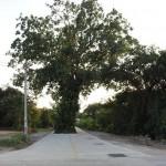 Szent fa az út közepén