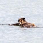 Photo: Így úszik egy bagoly a vízen
