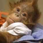 Angliában nevelik fel az elárvult budapesti orangután kölyköt