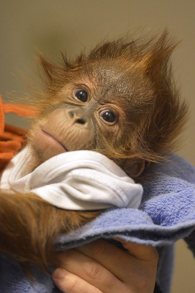 Angliába viszik az elárvult orangután kölyköt