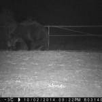 Visszatért Csernobil környékére egy barna medve